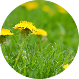 Weed control is part of Royal Turf's comprehensive lawn care services. Selective lawn fertilization that eradicates weeds but keeps your grass green. We'll stop dandelions in their tracks!